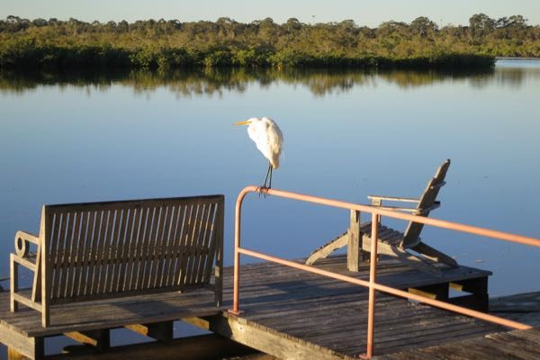 Egret-at-our-jetty-The-Loft-Noosa-Sound