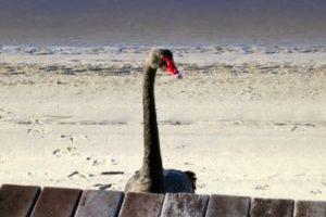 black-swan-at-the-loft-noosa-sound