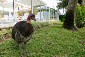 noosa-brush-turkey