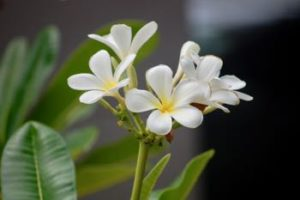 frangipani-at-the-loft-noosa-sound